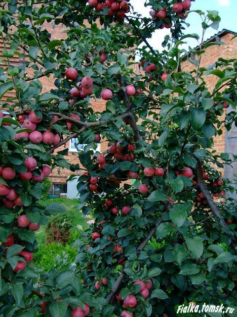 надписей яблоня жар птица описание фото сидит скамейке