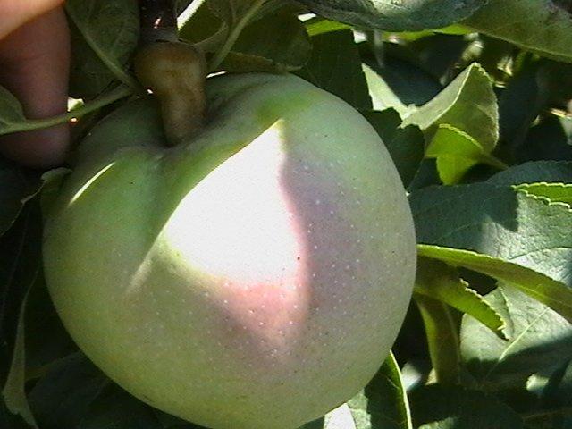 Плодоножка у яблока фото