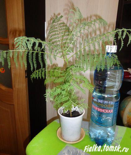 Выращивание фиалкового дерева из семени в домашних условиях 10