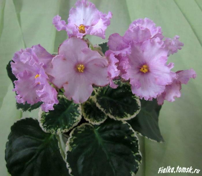 фиалка фото pink chablis