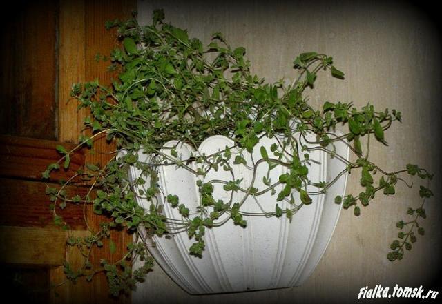 Секреты выращивания дихондры 57
