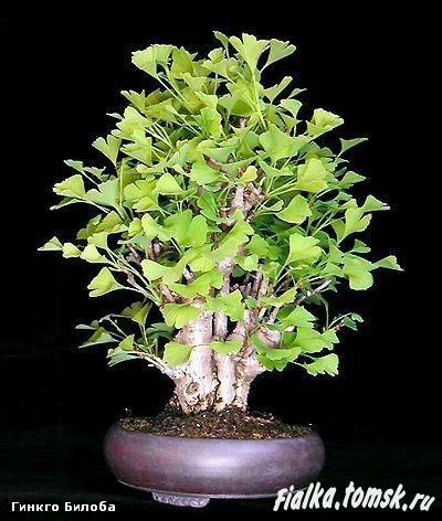 Гинкго двухлопастное выращивание 47
