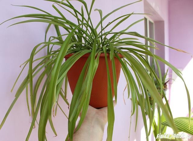 Хлорофитум из семян в домашних условиях