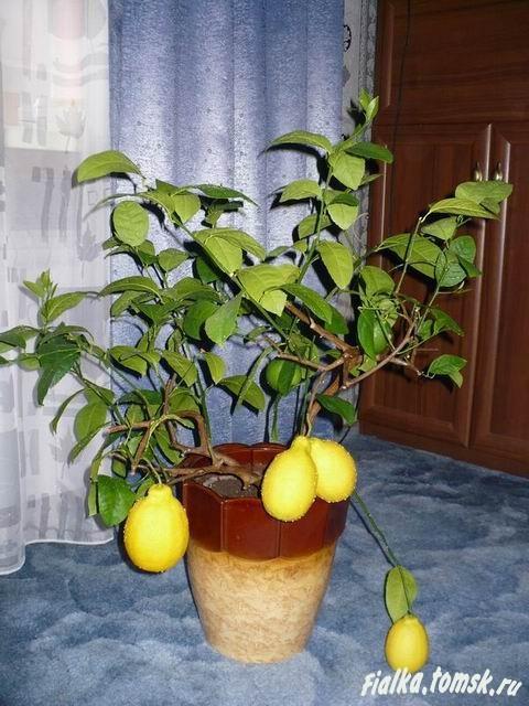 77Как обрезать лимоны в домашних условиях