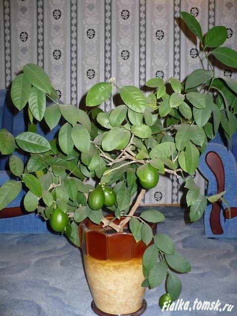 Как формировать лимон в домашних условиях в горшке