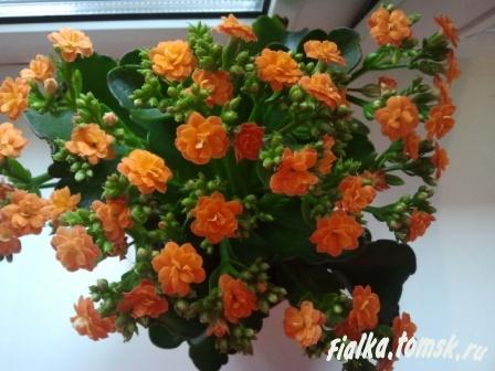 Цветущие комнатные растения фото и названия Комнатные цветы