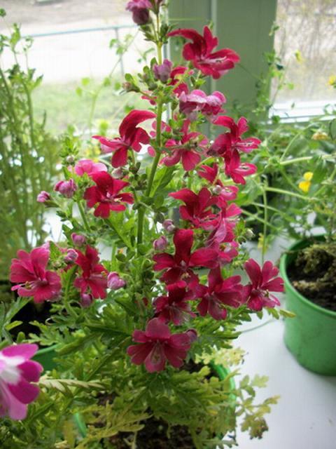 Схизантус выращивание дома 46