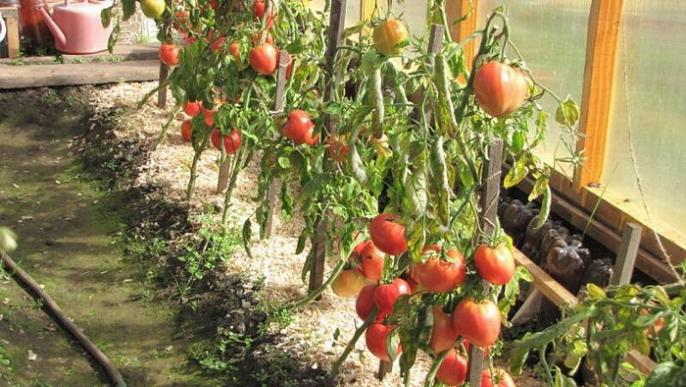А сколько разных способов выращивания было перепробовано.  Сажали на компосте, в парнике, в открытом грунте...
